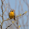 Golden-breasted Bunting, Gelbbauchammer, Emberiza flaviventris