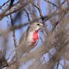 Rosy-patched Bush-Shrike, Rosenwürger, Rhodophoneus cruentus ♀