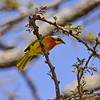 Sulphur-breasted Bush-Shrike, Orangebrustwürger, Telophorus sulfureopectus