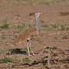 Arabian Bustard - Arabertrappe - Ardeotis arabs ♀