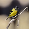 Black-headed Siskin - Schwarzkopfgirlitz - Serinus nigriceps ♂