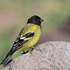 Black-headed Siskin - Schwarzkopfgirlitz - Serinus nigriceps
