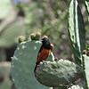 White-winged Cliff Chat - Spiegelschmätzer - Thammolaea semirufa ♂