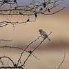 Desert Cisticola, Kalaharicistensänger, Cisticola aridulus