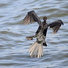 Long-tailed Cormorant , Riedscharbe , Phalacrocorax africanus