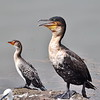 Long-tailed Cormorant , Riedscharbe , Phalacrocorax africanus + Great Cormorant, Kormoran, Phalacrocorax carbo