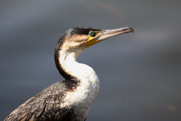 Great Cormorant, Kormoran, Phalacrocorax carbo