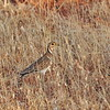 Heuglin's Courser, Bindenrennvogel, Rhinoptilus cinctus