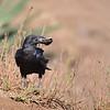 Fan-tailled Raven, Borstenrabe, Corvus rhipidurus