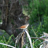 White-browed Coucal, Tiputip, Centropus superciliosus