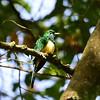 African Emerald Cuckoo, Smaragd Kuckuck, Chrysococcyx cupreus