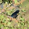 Black Cuckooshrike, Mohrenraupenfresser, Campephaga flava ♂