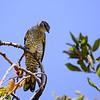 Black Cuckooshrike, Mohrenraupenfresser, Campephaga flava ♀