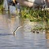 African Darter - Schlangenhalsvogel - Anhinga rufa