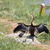 African Darter - Schlangenhalsvogel - Anhinga rufa ♀
