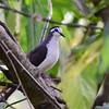 Tambourine Dove, Tamburintaube, Turtur Tympanistria