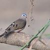 Blue-spotted Wood-Dove, Stahlflecktaube, Turtur afer