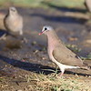 Blue-spotted Wood Dove,  Stahlflecktaube, Turtur afer