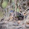 Emerald-spotted Wood-Dove, Bronzeflecktaube, Turtur chalcospilos