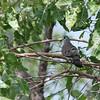 Black-billed Wood Dove, Erzflecktaube, Turtur abyssinicus
