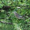 Emerald-spotted Wood Dove, Bronzeflecktaube,Turtur chalcospilos