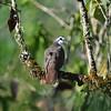 Tambourine Dove, Tamburintaube, Turtur tympanistria ♂
