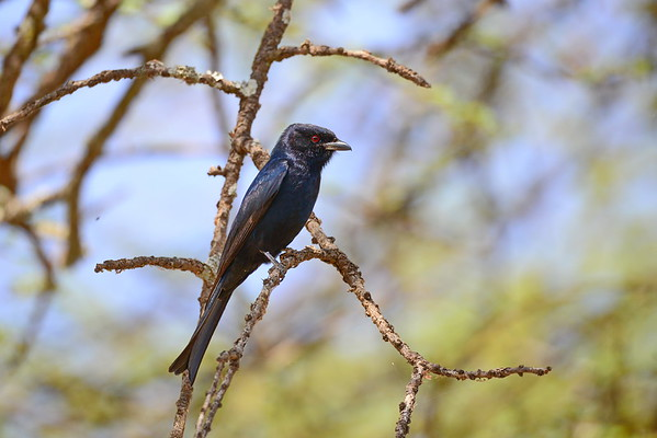 Fork-tailed Drongo - Trauerdrongo - Dicrurus adsimilis