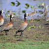 White-faced Whistling Duck, Witwenpfeifgans, Dendrocygna viduata