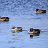 Yellow-billed Duck, Gelbschnabelente, Anas undulata + Eurasian teal, Krickente, Anas crecca