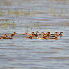 Fulvous Whistling Duck, Gelbbrust-Pfeifgans, Dendrocygna bicolor