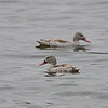 Cape Teal, Fahiente, Anas capensis