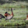 White-faced Whistling Duck,  Witwenpfeifgans, Dendrocygna viduata
