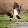 Egyptian Goose, Nilgans, Alopochen aegyptiaca