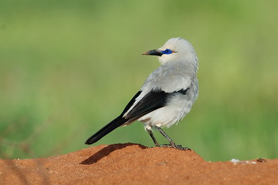 Endemic Ethiopian Birds / Endemische Vögel Äthiopiens