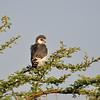 Pygmy Falcon, Halsband - Zwergfalke,  Polihierax semitorquatus ♂
