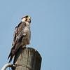 Lanner Falcon, Lannerfalke, Falco biarmicus