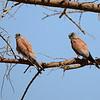 Lesser Kestrel, Rötelfalke, Falco naumani
