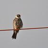 Amur Falcon - Amur Falke - Falco amurensis