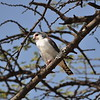 Pygmy Falcon, Halsband - Zwergfalke,  Polihierax semitorquatus ♀
