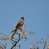Common Kestrel - Turmfalke - Falco tinnunculus