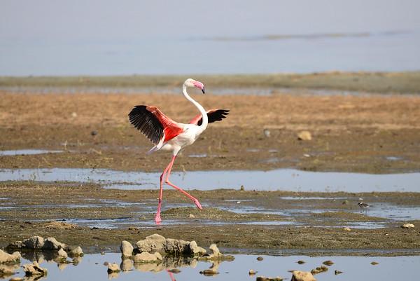 Greater Flamingo, Rosa Flamingo,  Phoenicopterus ruber