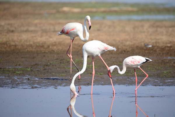 Greater Flamingo, Rosa Flamingo,  Phoenicopterus ruber + Lesser Flamingo, Zwergflamingo, Phoeniconaias minor