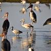 Greater Flamingo, Rosaflamingo, Phoenicopterus  ruber