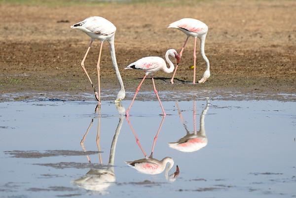 Greater Flamingo, Rosa Flamingo,  Phoenicopterus ruber + Lesser Flamingo, Zwergflamingo, Phoeniconaias minor