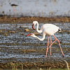 Lesser Flamingo, Zwergflamingo, Phoeniconaias minor