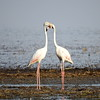Greater Flamingo, Rosa Flamingo,  Phoenicopterus ruber