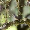 Abyssinian Slaty Flycatcher,  Habeschdrongoschnäpper, Melaenornis chocolatinus