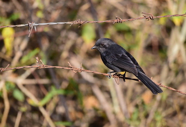 Northern Black Flycatcher, Senegaldrongoschnäpper, Melaenornis edolioides