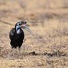 Abyssinian Ground Hornbill - Sudanhornrabe - Bucorvus abyssinicus ♀