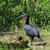 Abyssinian Ground Hornbill - Sudanhornrabe - Bucorvus abyssinicus ♂